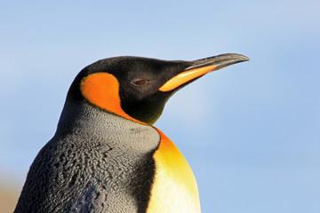 King penguin, aptenodytes patagonicus, Saunders Falkland Islands Malvinas