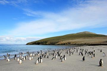 Gentoo penguins, Pygoscelis Papua, Saunders Falkland Islands Malvinas