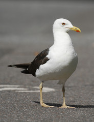 Adult Lesser Black-backed Gull, Larus fuscus, in urban environment in Finland.