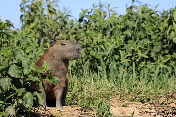 Capybara Sitting on the River Bank. Pantanal, Brazil