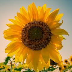 Flower sunflower against the sky
