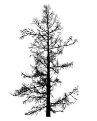 Leafless larch tree isolated on white