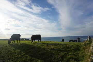 Cows in pasture by the coast of Atlantic Ocean, Ireland