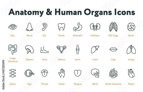 Anatomy Human Body Internal Organs Biology Minimal Flat Line Stroke ...