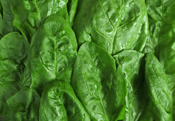 Green leaves of spinach as background