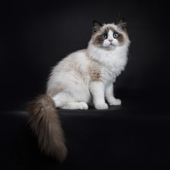 Young adult Ragdoll cat sitting sideways isolated on black background with tail hanging down from edge