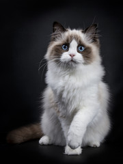 Young adult Ragdoll cat sitting frontal isolated on black background with paw tilted