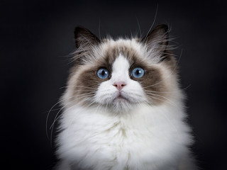 Head shot of Young adult Ragdoll cat  isolated on black background (2)