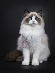 Young adult Ragdoll cat sitting frontal on black background