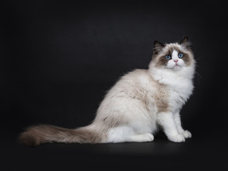 Young adult Ragdoll cat sitting sideways isolated on black background (3)