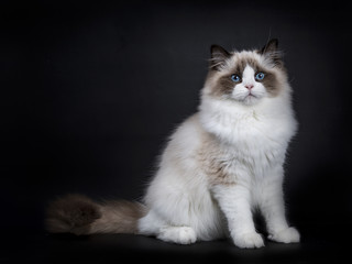 Young adult Ragdoll cat sitting sideways isolated on black background (1)