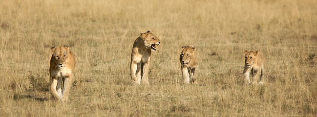 Four lion cubs walking