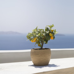 Kumquat fruit ripe on a young tree standing on a wooden table on a background of mountains and the sea in the sun