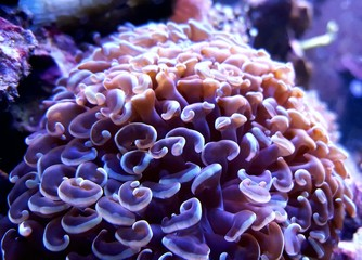 Macro shot on Euphyllia Hammer Coral