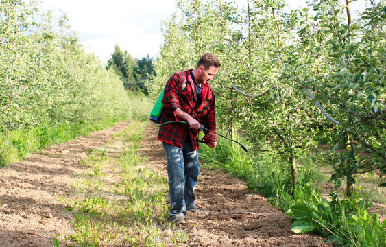 young farmer is spraying herbicide in an apple orchard that has many weed