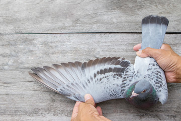 homing pigeon bird feather of wing on wood floor