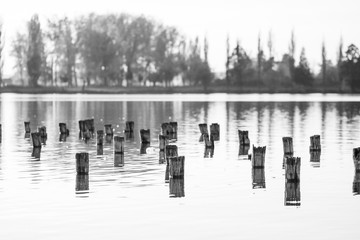 Black and white photo of flooded tree trunks from felled trees with reeds, vegetation and reflexions