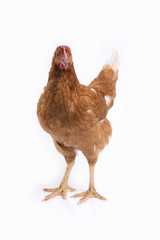 Brown hen standing on white background.