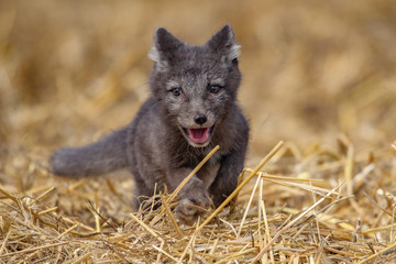 polar fox (Vulpes lagopus)