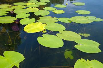 nénuphare sur la surface de l'eau
