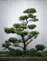 Bonsai tree on front of concrete wall
