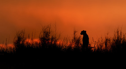 Silhouette of african Cheetah, Acinonyx jubatus, sitting on the ridge of grassy dune in the valley of Nossob river after sunset against dramatic red sky. Kgalagadi transfrontier park, South Africa.