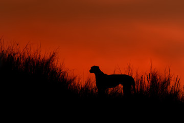 Silhouette of african Cheetah, Acinonyx jubatus, walking on the ridge of grassy dune in the valley of Nossob river after sunset against dramatic red sky. Kgalagadi transfrontier park, South Africa.