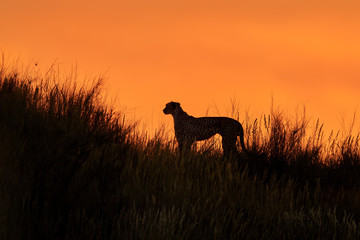 Silhouette of african Cheetah, Acinonyx jubatus, walking on the ridge of grassy dune in the valley of Nossob river after sunset against dramatic orange sky. Kgalagadi transfrontier park, South Africa.