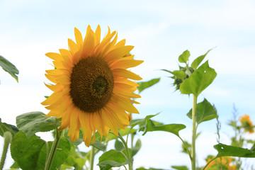 Sunflower under the blue sky
