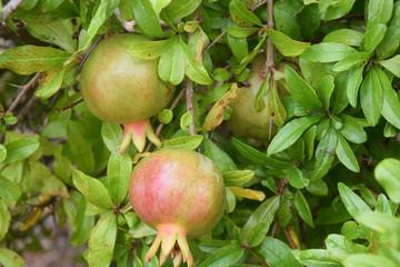 Grenade, le fruit riche en vitamines et minéraux