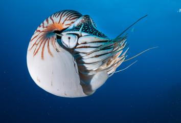 Nautilus swimming in blue water, Palau, Micronesia.