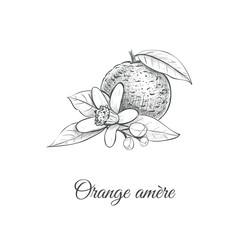 Orange amere Vector illustration. Bitter orange Hand drawing Citrus aurantium