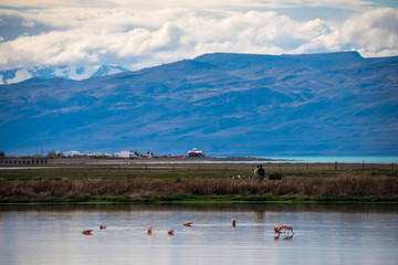 Flock of pink flamingos against the backdrop of mountains. Shevelev.