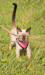 Cute Siamese kitten in a pink harness and leash, with his tail up in a confidence showing posture, against green grass background