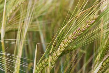 Field ears of arable land