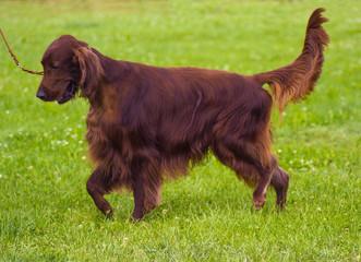 Cute Irish Setter puppy. Irish red setter.  red dog Irish setter in summer