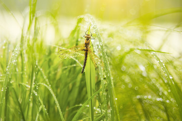 Dragonfly in droplets of morning dew on wings among the grass in droplets. A beautiful early morning on the river.