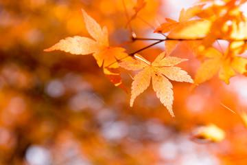 the beautiful autumn color of Japan maple .leaves in Maple corridor (Momiji Kairo) at autumn season,Kawaguchiko, Fujiyoshida, Yamanashi, Japan