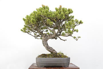 Bonsai on a wooden table and white background