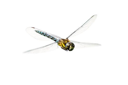 Eine Libelle im Flug (freigestellt)
