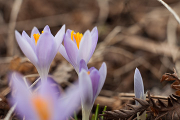Spring purple crocus. Blooming crocuses in the clearing. The plant on the saffron. Flowers on macro whit blur background.