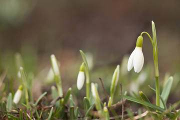 The first sign of spring. Small white single snowdrop bell.