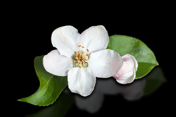 White flower apple tree isolated on pure black background.