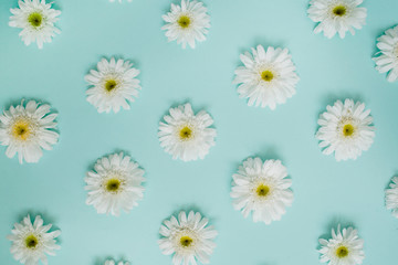 Pattern of white chamomile daisy flowers on blue background. Flat lay, top view. Floral background. Pattern of flower buds.