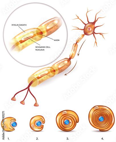 Neuron anatomy 3d illustration close up and myelin sheath formation ...