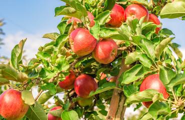 Reife Äpfel im Spätsommer