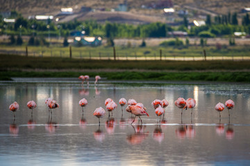 A flock of pink flamingos in the lake. Shevelev.