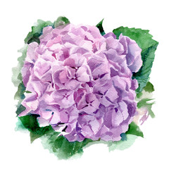 Hydrangea watercolor illustration. Pink summer flower on a white background.