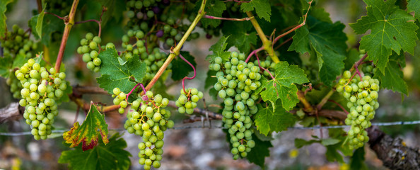 Grapes in Bordeaux
