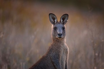 Kangaroo in the Australian bush